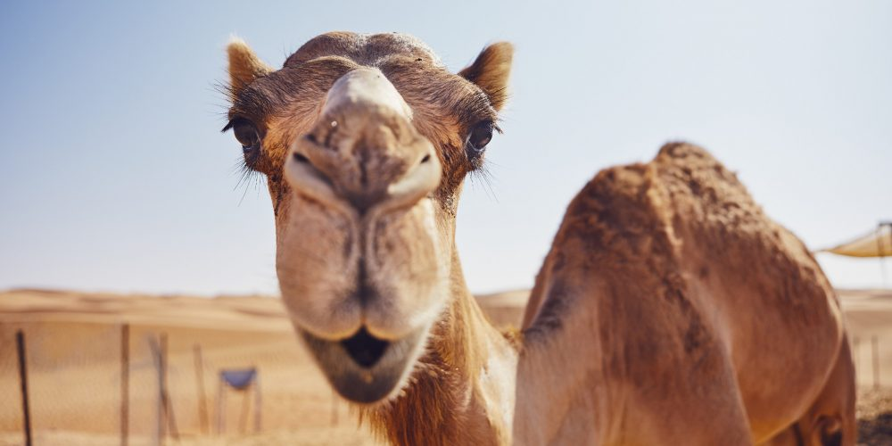 One hump or two? Camel milk coffee to be served in Glasgow coffee shop!